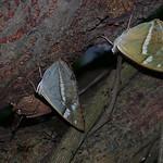 352_金鎧蛺蝶02(台灣小紫蛺蝶)20080607桐林