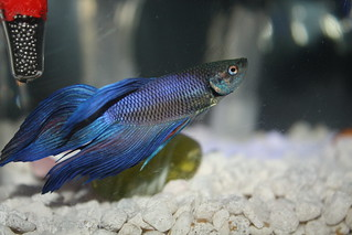 Betta Fish | by aqeelkhan