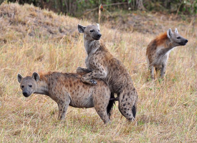 Spotted Hyena's.....