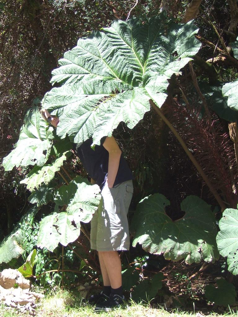 Gunnera insignis (Mammutblatt) - in situ nr Lake Botos, P. N. Volcan Poas, Costa Rica 12 Aug 2007 Daan