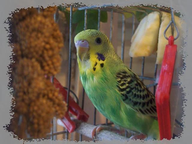 My baby parrot-Az első papagájfiókám