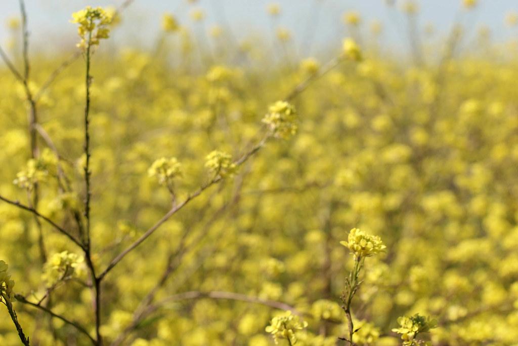 Mustard by gwen