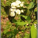 Bridal Wreath,Reeves' spirea,Double Bridal Wreath--麻葉繡球02