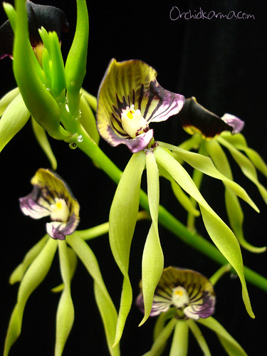 Prosthechea cochleata | by orchidkarma