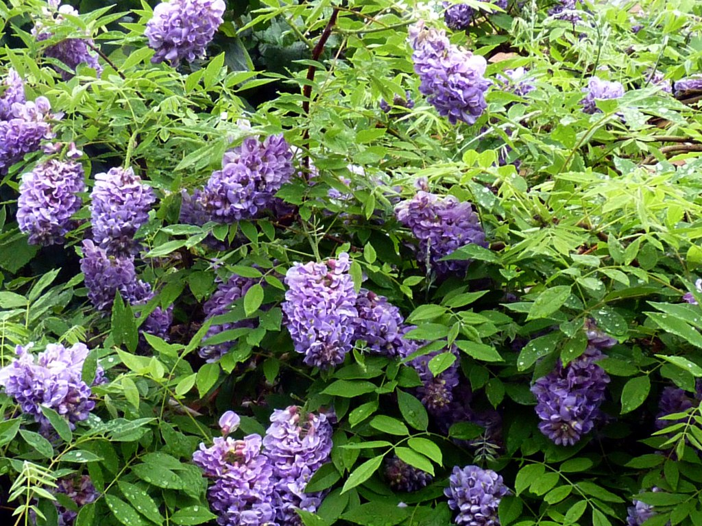 Image result for American Wisteria