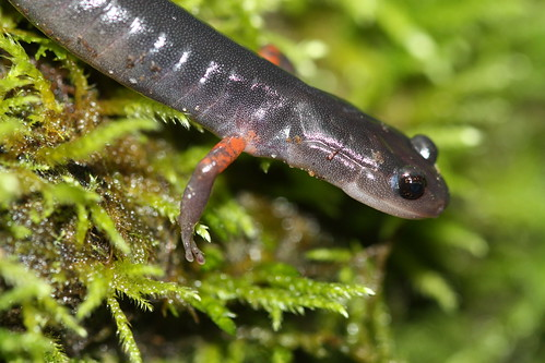 Plethodon cheoah | by Andy Kraemer