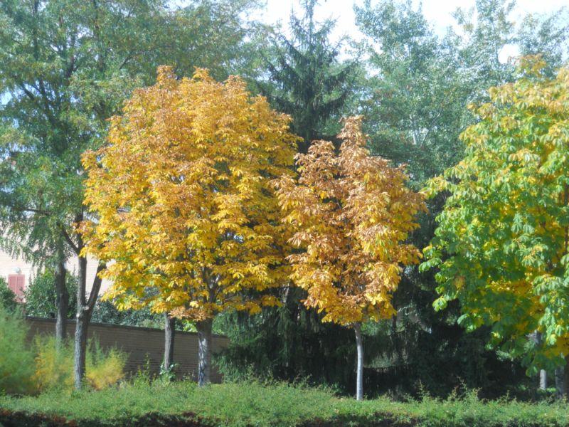 Castaño de indias en otoño 10