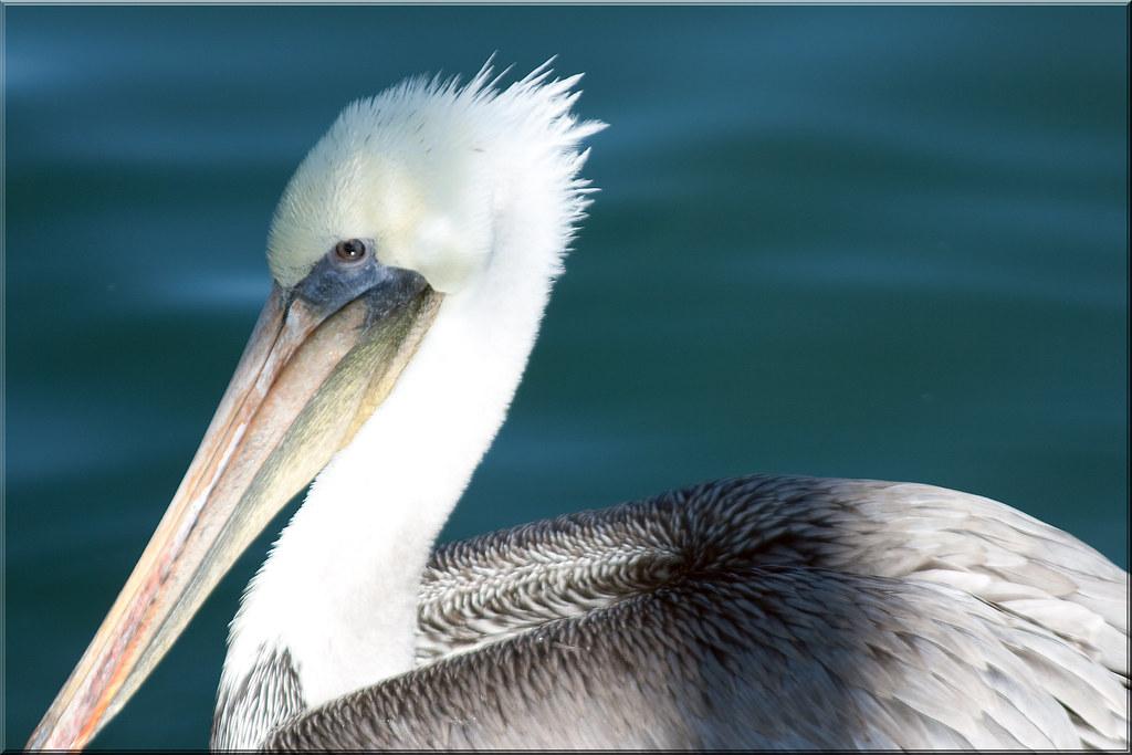 Pelican Profile