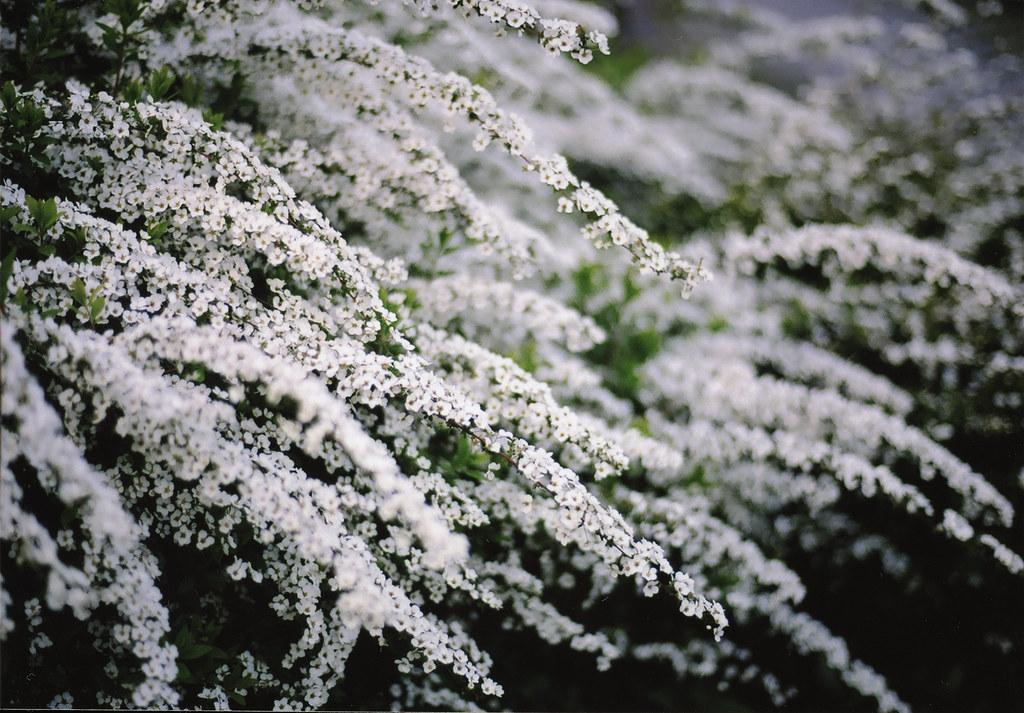 雪柳 Snow willow by arapy