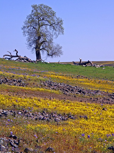 Old oak on a wildflower covered hill | by mariposa lily