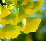Ginko Leaves | by nicoleacosta