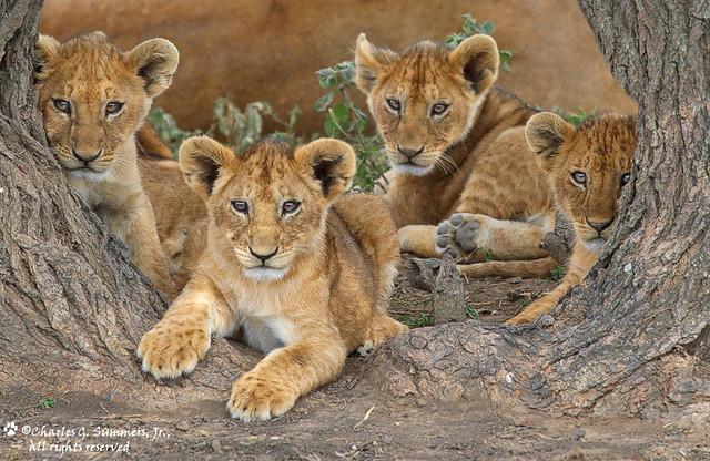 Four inquisitive Lion Cubs 0R7E7660