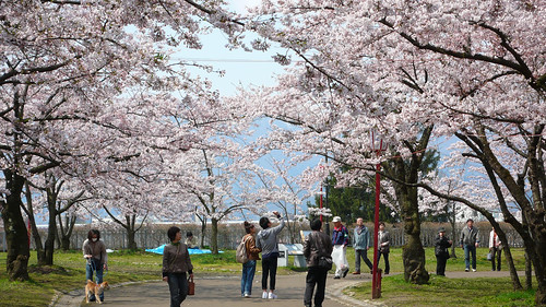A sunday in full cherry blossom season | by yisris