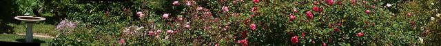 100501 backyard crippled crow and rose garden PScs4 E3 3476 87compr10