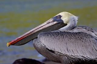 Brown Pelican (Pelecanus occidentalis) Study: Head Profile | by bbum