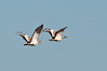 Great Bustards by chlorophonia