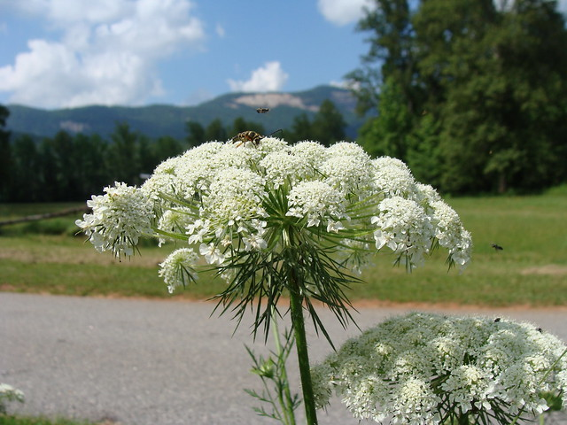 Queen Anne's lace, serving as landing platform, with Table Rock in background