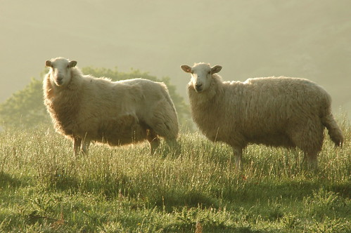 Sheep - 6 | by A Roger Davies