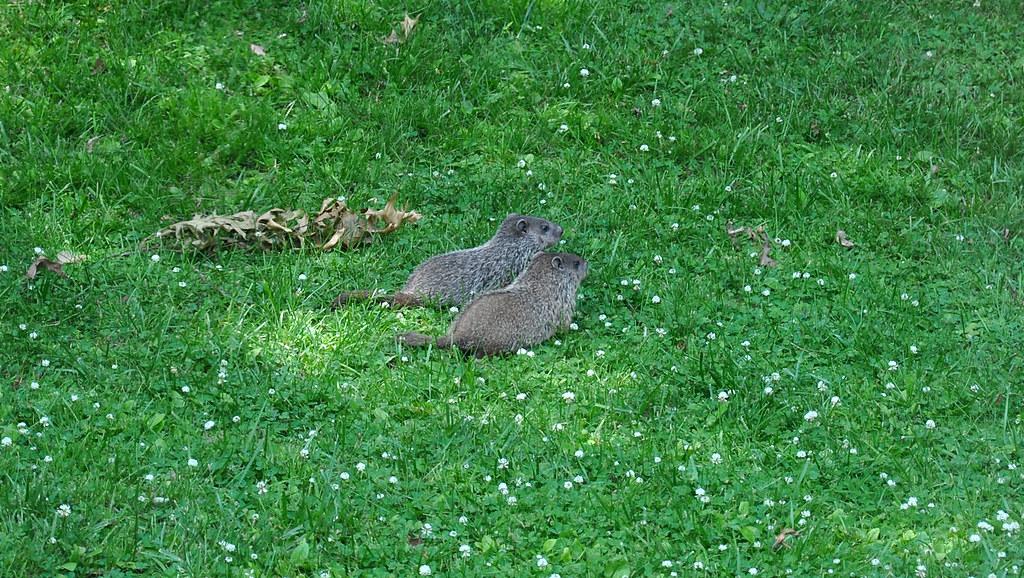 i got 5 groundhogs living in my backyard   Craig Grieco ...