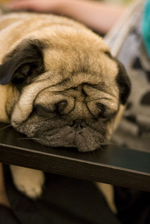 Our Pug Is Cute When He Is Asleep | by verymotomoto