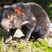 Demonio de Tasmania - Photo (c) Steven Penton, algunos derechos reservados (CC BY)