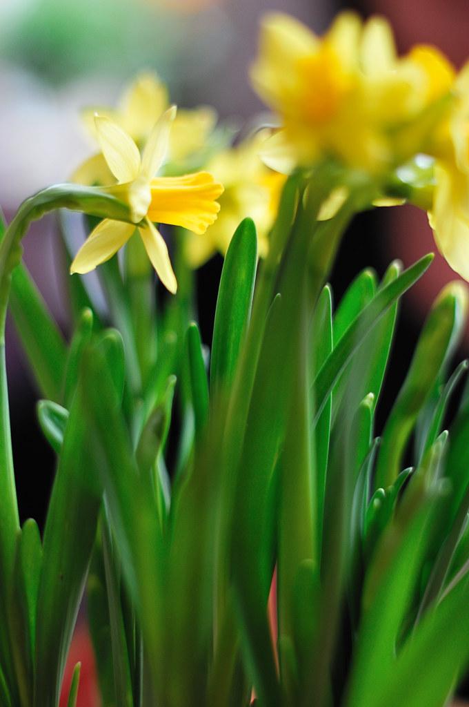 Daffodils by christian.senger