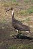 Straw-necked Ibis by brettm8