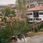 cat at Safranbolu