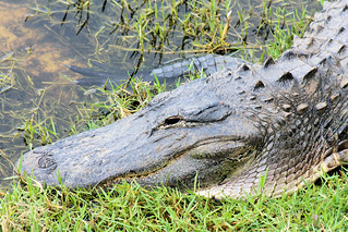Alligator1 | by Crow 911