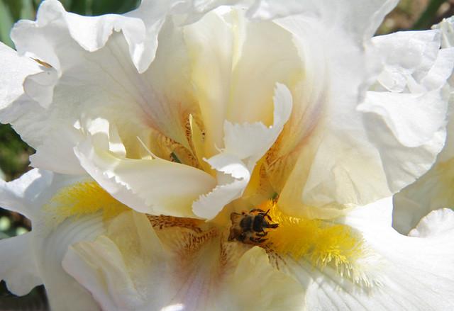 Abeille au coeur d'un iris