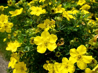 Potentilla fruticosa 'Gold Drop' 金露梅 | by beautifulcataya