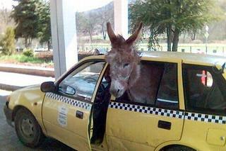 Funny donkey in car   sohaibhassan100   Flickr