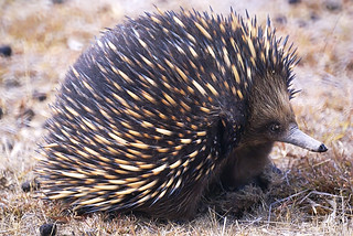 Short-beaked Echidna (Tachyglossus aculeatus)   by David Cook Wildlife Photography