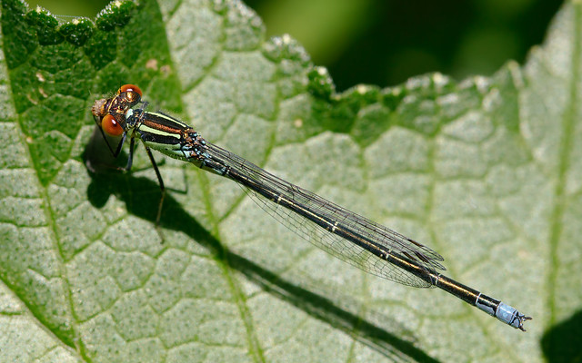 Small red-eyed damselfly m