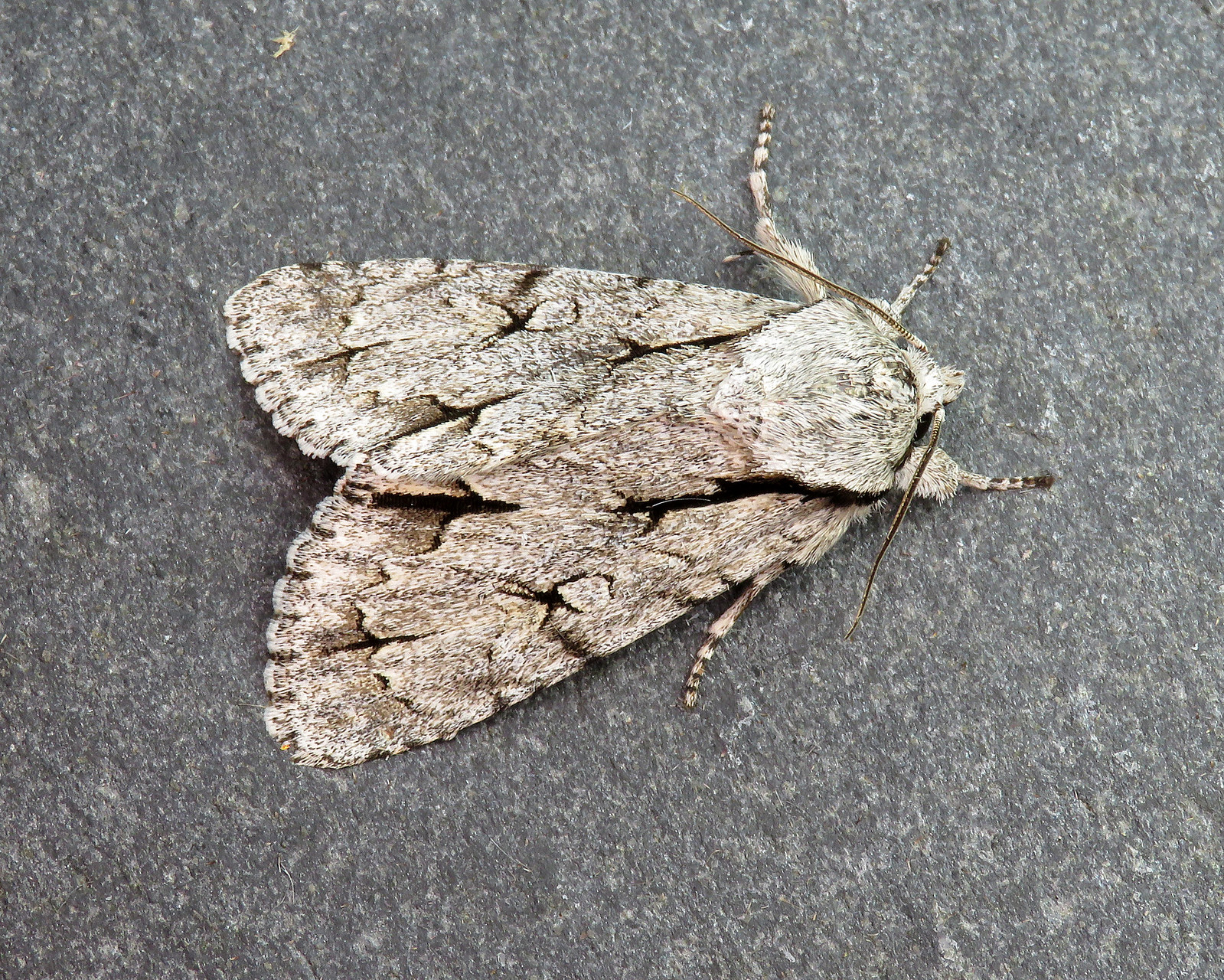 73.038 BF2284 Grey/Dark Dagger - Acronicta psi/tridens