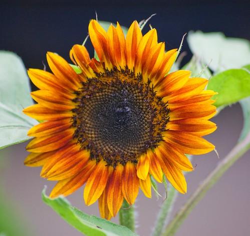 sunflower mygarden janicewagnon
