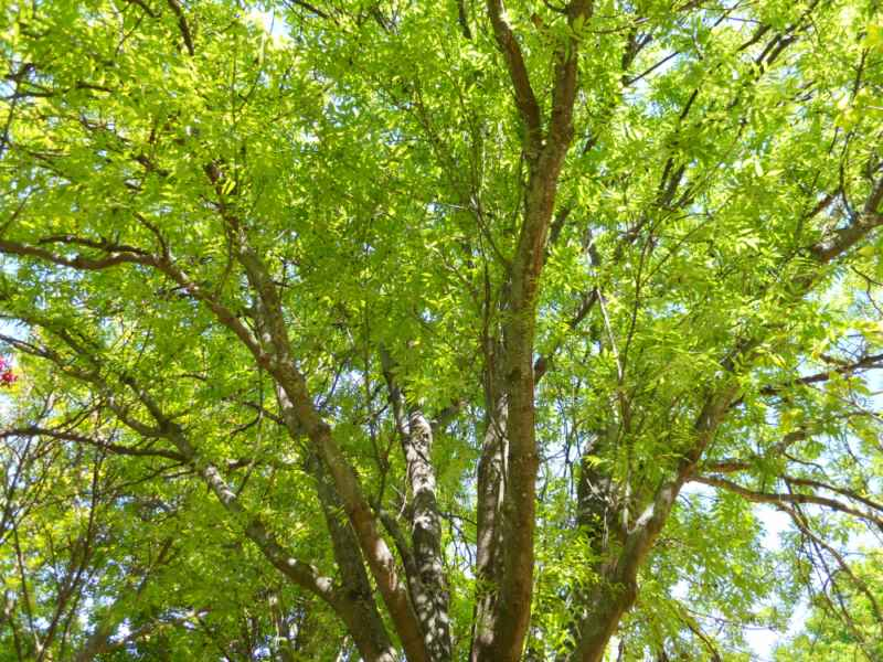 Ailanthus altissima copa 1