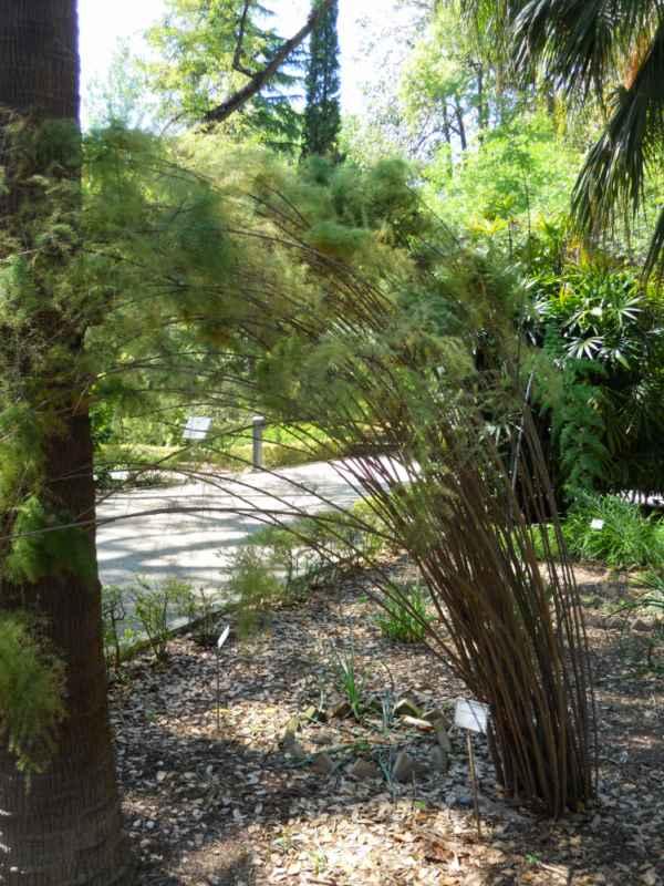 Asparagus scoparius 'Lowe' v 1