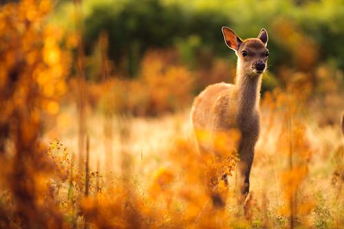morning summer england nature fairytale forest sunrise golden countryside kent woods nikon bokeh wildlife deer storybook magical 70200 f28 enchanted d3