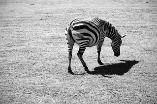 three-legged zebra | by klisu
