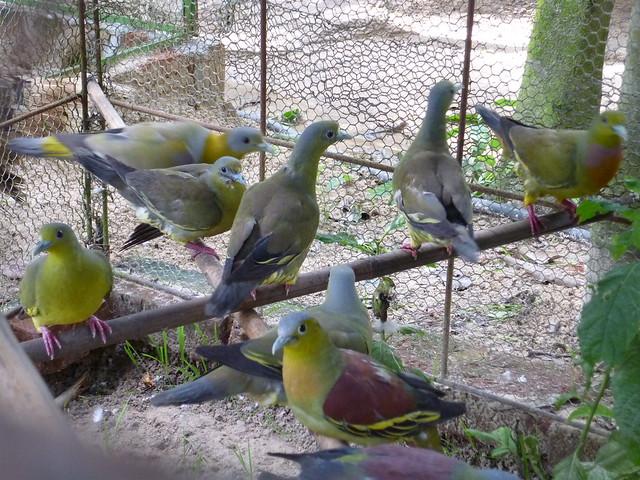 caged birds pigeons