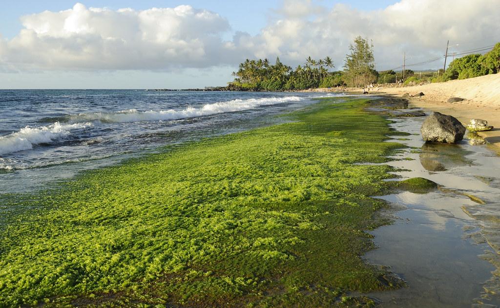 Green Algae on Beach
