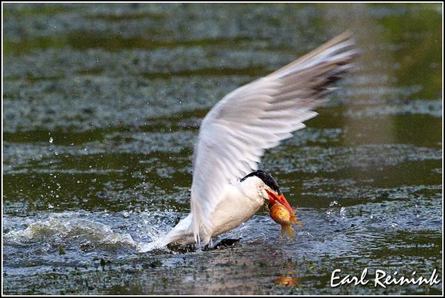 20100819-1189 Caspian Tern