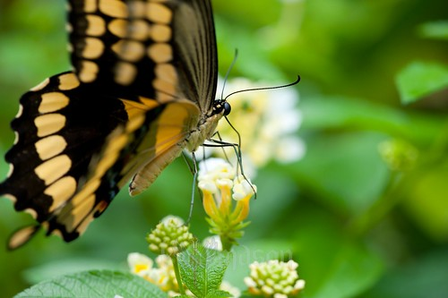 flower macro butterfly nc northcarolina proboscis hickory catawbasciencecenter sigma150mmf28exapodghsmmacro tscf2010ar