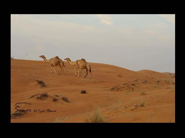 Al Badayer - Dubai - UAE jan 2011