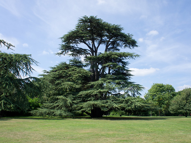 An Impressive Tree (Lebanon Cedar) near Boston Manor House