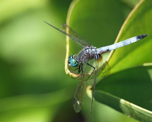 insect dragonfly © 70300mm odonata washingtonnc bluedasher garyburke olympuse620