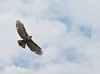 Rufous-bellied Eagle by Rahul (Busy)