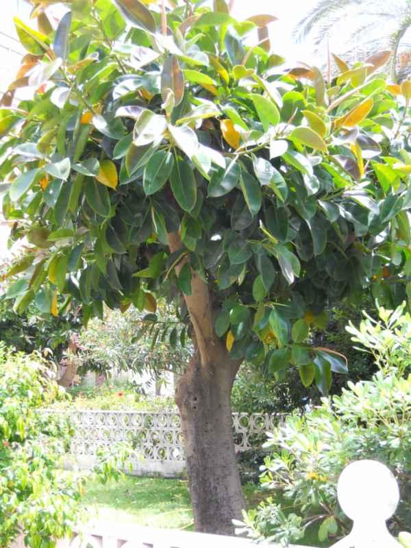 Ficus elastica v 1