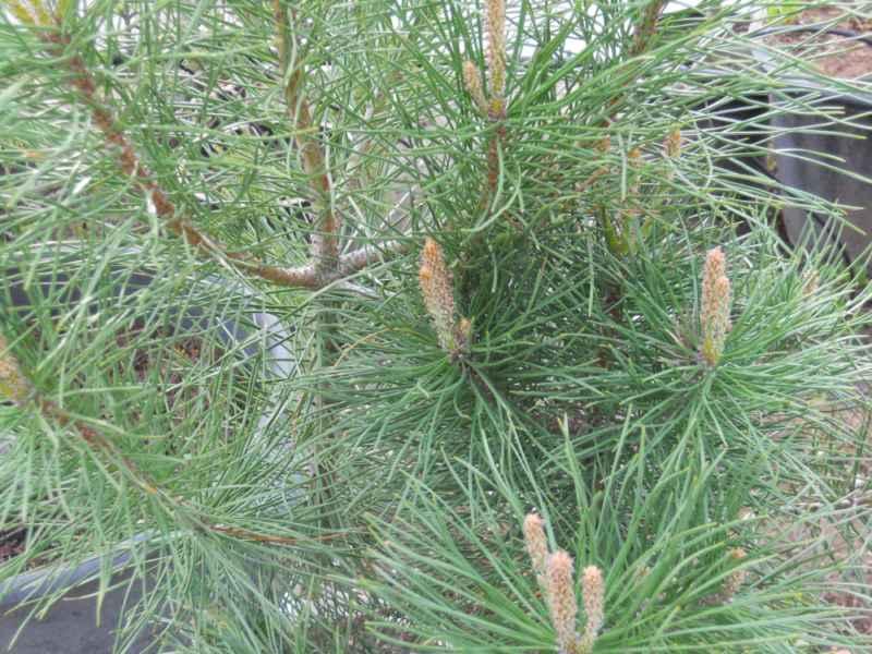 Pinus pinea hojas 2